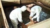 Cán bộ thú y tỉnh Hậu Giang xử lý số heo bị bệnh