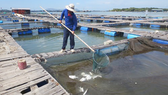 Ngư dân vớt cá nuôi lồng bè bị chết trên sông Chà Và