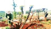 Một hộ dân tại Gia Lai phá cà phê để trồng lại cây khác. Ảnh: HỮU PHÚC