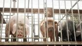 FAO họp khẩn cấp bàn cách đối phó dịch cúm lợn châu Phi