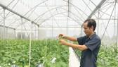 Trồng dưa lưới trong nhà màng giúp cho sản phẩm đảm bảo vệ sinh an toàn thực phẩm. Ảnh: THANH HẢI
