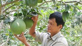 Nông dân trồng bưởi da xanh tại tỉnh Bến Tre