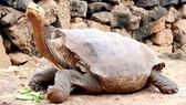 Đưa rùa khổng lồ trở về Galapagos