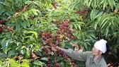 Cà phê pha phin được sản xuất hoàn toàn từ cà phê Robusta chất lượng cao đạt tiêu chuẩn cà phê quốc tế 4C