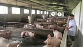 Trại heo HTX Tiên Phong (TPHCM) đã đầu tư trại mát, đảm bảo an toàn sinh học nhằm phòng chống bệnh dịch tả heo châu Phi. Ảnh: THANH HẢI