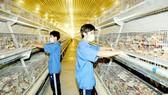 Cơ sở nuôi gà lấy trứng tại tỉnh Bình Dương. Ảnh: CAO THĂNG