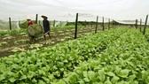 Trồng và thu hoạch rau sạch ở huyện Cần Đước, Long An