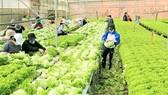 Nông dân Lâm Đồng xuống giống vụ rau mới