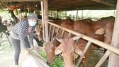 Hộ chăn nuôi bò ở huyện Bù Đốp, Bình Phước