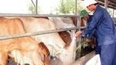 Việt Nam bắt đầu sản xuất vaccine lở mồm long móng