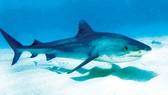 Samoa bảo vệ cá mập
