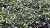 Bà Rịa - Vũng Tàu: Hàng chục hécta khoai mì bị nhiễm bệnh khảm lá