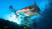 Cá mập cũng ăn tảo