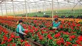 Hơn 1.500ha hoa Đà Lạt phục vụ thị trường tết