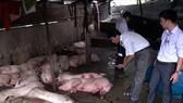 Đắk Lắk: Bùng phát dịch lở mồm long móng ở heo