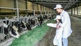 Chuồng nuôi quy mô lớn với hệ thống làm mát tự động do Vinamilk phát triển giúp những cô bò sống thoải mái như ở quê hương ôn đới mát mẻ của mình