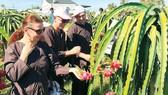 Du khách nước ngoài thích thú trải nghiệm tham quan vườn thanh long