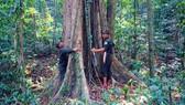 Nỗ lực giữ rừng giáng hương trăm tuổi