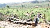 Rừng ở Đắk Nông liên tục bị chặt phá. Ảnh: ĐÔNG NGUYÊN