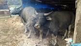 Cần chủ động bảo vệ trâu bò trong đợt rét này