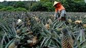 Nhật Bản: Tăng nhập khẩu dứa từ lãnh thổ Đài Loan