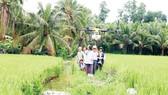 Nông dân Hậu Giang điều khiển máy bay phun thuốc trên ruộng lúa