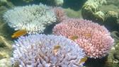 Rạn san hô Great Barrier ở đảo Orpheus, Australia. Ảnh: TTXVN