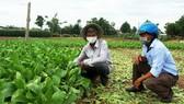 Người dân vựa rau xã Nghĩa Dũng (TP Quảng Ngãi) nỗ lực duy trì canh tác. Ảnh: NGUYỄN TRANG