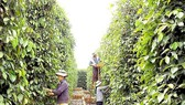 Bà Rịa - Vũng Tàu: Hơn 600 thanh niên giúp nông dân thu hoạch tiêu