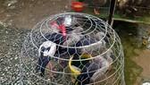 Kiểm soát việc bán, giết mổ chim hoang dã