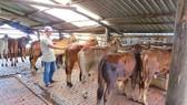 Đồng Nai: Khuyến khích người dân chuyển sang nuôi bò vỗ béo
