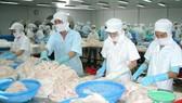 Chế biến cá ba sa tại tỉnh Đồng Tháp. Ảnh: CAO THĂNG