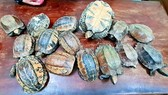 Phát hiện vụ vận chuyển 15 cá thể rùa