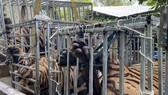Vụ nuôi hổ như nuôi heo tại Nghệ An: Một hộ nuôi có người nhà làm công an