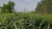 Cây mai dương là sinh vật ngoại lai, dễ phát tán, phát triển thành bụi rậm,  không có loại cây cỏ nào có thể mọc chen vào, rất khó tiêu diệt