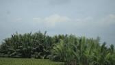 Rừng dừa nước sắp bị xóa bỏ để xây dựng bể chứa nước phục vụ Nhà máy Bột-Giấy. Ảnh: Nguyễn Trang
