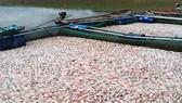 Cá lồng nuôi trong hồ thủy điện Pleikrong chết trắng lồng