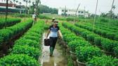 Nhà vườn Quảng Ngãi giảm sản lượng hoa tết