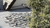 Vụ phơi vây cá mập trên mái nhà: Điều tra, xử lý theo đúng quy định nước sở tại
