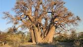 Cây baobab - Biểu tượng của châu Phi chết hàng loạt