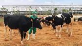 Bò sữa đi dạo trong khu sân chơi được trải đệm rơm tại Trang trại Vinamilk Quảng Ngãi