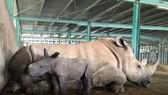 Vinpearl Safari chào đón tê giác thứ 3 chào đời