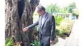 Bí thư Thành ủy TPHCM Nguyễn Thiện Nhân bên cạnh gốc me bên trong tu viện Dòng Mến Thánh giá Thủ Thiêm có từ năm 1840. Ảnh: KIỀU PHONG