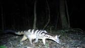 Cầy vằn được phát hiện ở rừng Kon Plông bằng bẫy ảnh