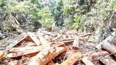 Nhiều cây gỗ lớn bị chặt hạ chuẩn bị đưa ra khỏi rừng