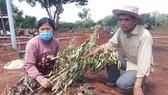 Vợ chồng nông dân khóc tức tưởi vì 500 cây ăn quả bị chặt phá ngang gốc. Ảnh: VŨ PHONG