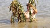 Cánh đồng lúa ở thôn Đông Cao bị ngập úng, không thu hoạch được
