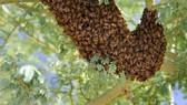 Gần 20 học sinh nhập viện vì bị ong đốt