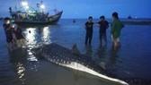 Nghệ An: Phát hiện xác cá lạ trôi dạt vào bờ biển