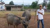 Thanh Hóa: 14 huyện, thành, thị công bố hết dịch viêm da nổi cục trên trâu, bò